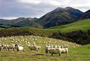 New Zealand sheep wool is the best in the world